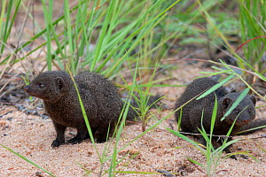 Two common Dwarf Mongoose (Helogale parvula). Kruger National Park, South Africa, January.  -  Brent Stephenson