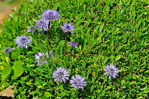 Heart-leaved globe daisies (Globularia cordifolia) in flower, native to the Alps and Pyrenees of southern Europe, National Botanic Garden of Belgium, May  -  Philippe Clement
