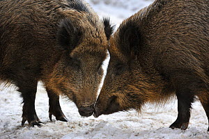 Two wild boars (Sus scrofa) standing nose to nose prior to fighting, captive, Bavarian Forest National Park, Germany, March Not available for ringtone/wallpaper use.  -  Philippe Clement