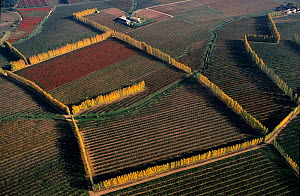 Aerial view of vineyards and fruit trees edged with Italian poplar trees, introduced to the Camargue during the 19th century and planted for protection against the wind, near Arles, Camargue, Southern...  -  Jean E. Roche