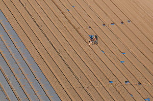 Aerial view of men working on horticultural land in the Camargue, growing Melons for the commerical market, Arles, Southern France, September 2008  -  Jean E. Roche