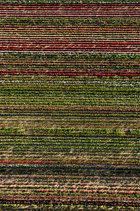 Aerial view of rows of cultivated Roses, horitculture, Bellegarde, Camargue, Southern France, June 2009  -  Jean E. Roche