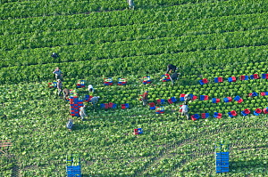 Aerial view of people harvesting salad crop, Beaucaire, Camargue, Southern France, August 2008  -  Jean E. Roche