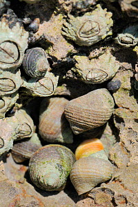 Group of Rough periwinkles (Littorina saxatilis) with various colours and patterns sheltering in limestone rock crevice high on the shore at low tide, alongside encrusting Montagus's stellate barnacle... - Nick Upton