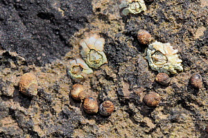 Small periwinkles (Melarhaphe neritoides) attached to limestone rock encrusted with Tar lichen (Verrucaria maura) and Montagu's stellate barnacles (Chthamalaus montagui) high on the shore at low tide,... - Nick Upton