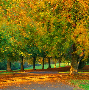 Autumn colour in the trees blowing in the wind, The Promenade, Clifton Downs, Bristol, England, UK - David Noton