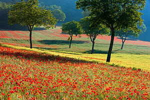Poppies flowering in a field, near Norcia, Umbria, Italy. May 2005. - David Noton