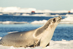Crabeater seal (Lobodon carcinophagus) on ice, Devil Island, Antarctica, March  -  Mary McDonald
