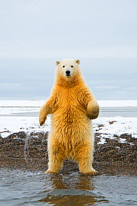 Young Polar bear (Ursus maritimus) standing and trying to balance in shallow water along the Bernard Spit, 1002 area of the Arctic National Wildlife Refuge, North Slope of the Brooks Range, Alaska, Oc...  -  Steven Kazlowski