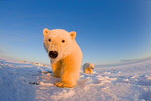 Two young Polar bears (Ursus maritimus) during the autumn freeze up, Barter Island, off the 1002 area of the Arctic National Wildlife Refuge, North Slope of the Brooks Range, Alaska, October 2011  -  Steven Kazlowski