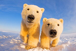 Two curious young Polar bears (Ursus maritimus), Barter Island, off the 1002 area of the Arctic National Wildlife Refuge, North Slope of the Brooks Range, Alaska, October 2011 - Steven Kazlowski