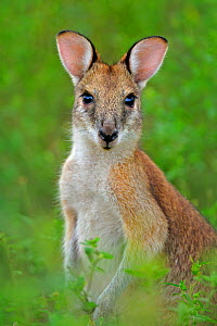 Agile wallaby (Macropus agilis) Bamarru Plains, Northern Territories, Australia - Andy Rouse