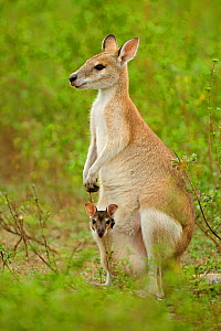 RF- Agile wallaby (Macropus agilis) female with joey in pouch. Bumarru Plains, Northern Territories, Australia. (This image may be licensed either as rights managed or royalty free.) - Andy  Rouse