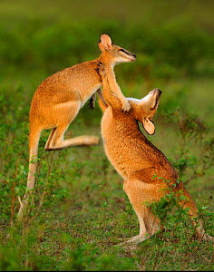 Agile wallabies (Macropus agilis) sparring and fighting, Bamarru Plains, Northern Territories, Australia  -  Andy Rouse