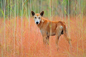 Dingo (Canis lupus dingo)  Kakadu National Park, North West Territories, Australia  -  Andy Rouse