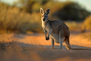 Common wallaroo (Macropus robustus) in late sunlight, Sal Salis, Ningaloo Reef, Cape Range National Park, Western Australia  -  Andy Rouse