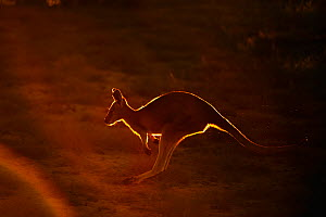 Common wallaroo (Macropus robustus) hopping in late sunlight, Sal Salis, Ningaloo Reef, Cape Range National Park, Western Australia - Andy Rouse
