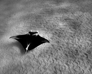 Manta ray (Manta birostris) swimming on ocean floor Coral Bay, Australia - Andy Rouse