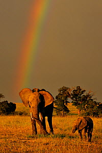 RF- African elephant (Loxodonta africana) with young in front of rainbow. Masai Mara National Reserve, Kenya. Vulnerable species. (This image may be licensed either as rights managed or royalty free.) - Andy  Rouse