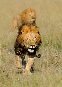 African lion (Panthera leo) the famous Notch and son, Masai Mara National Reserve, Kenya - Andy Rouse