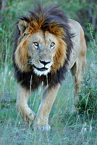 African lion (Panthera leo) male called Notch, made famous from Disney African Cats film, Masai Mara National Reserve, Kenya - Andy Rouse