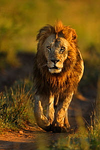African lion (Panthera leo) male lion, one of Notch's sons called Bob, Masai Mara National Reserve, Kenya - Andy Rouse