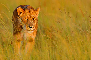 African lioness (Panthera leo) walking through grass, Masai Mara National Reserve, Kenya - Andy Rouse