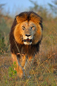 African lion (Panthera leo) male lion Notch, made famous from Disney African Cats film, Masai Mara National Reserve, Kenya - Andy Rouse
