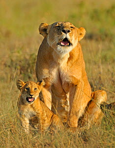 African lion (Panthera leo) mother and cub calling to others in pride, Masai Mara National Reserve, Kenya - Andy Rouse