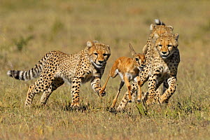 Cheetah (Acinonyx jubatus) young siblings learning how to hunt Thomson's gazelle fawn (Eudorcas thomsoni) Masai Mara National Reserve, Kenya  -  Andy Rouse