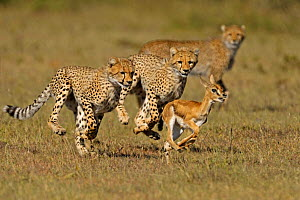 Cheetah (Acinonyx jubatus) young siblings learning how to hunt Thomson's gazelle fawn (Eudorcas thomsoni) mother cheetah in background, Masai Mara National Reserve, Kenya  -  Andy Rouse