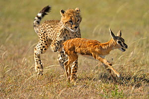 Young Cheetah (Acinonyx jubatus) learning how to hunt Thomson's gazelle fawn (Eudorcas thomsoni) Masai Mara National Reserve, Kenya  -  Andy Rouse