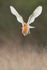 Barn owl (Tyto alba) swooping on to mouse prey, UK March  -  Andy Rouse