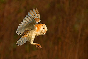 Barn owl (Tyto alba) landing portrait, UK March - Andy Rouse