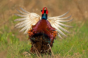 Pheasant (Phasianus colchicus) male displaying~Wales, UK March  -  Andy Rouse