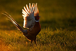 Pheasant (Phasianus colchicus) male displaying at dusk, UK March - Andy Rouse