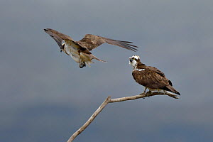 Osprey (Pandion haliaetus) male getting into position to mate, Dyfi Estuary, Wales, UK taken with a Schedule 1 licence from CCW (Countryside Council for Wales) - Andy Rouse