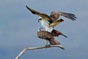 Osprey (Pandion haliaetus) pair mating, Dyfi Estuary, Wales, UK, taken with a Schedule 1 license from CCW (Countryside Council for Wales) April - Andy Rouse