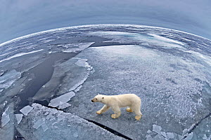Polar bear (Ursus maritimus) on pack ice taken with fisheye lens, Svalbard, Arctic September 2011  -  Andy Rouse