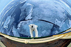Polar bear (Ursus maritimus) standing against expedition ship, taken with extreme wide angle lens, Svalbard, Arctic September 2011  -  Andy Rouse