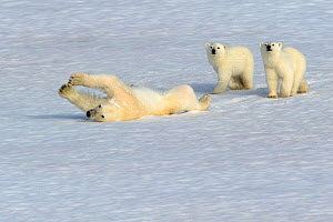 Polar bear (Ursus arctos maritimus) mother rolling in snow watched by new year cubs, 6 months old, Svalbard, Arctic - Andy Rouse