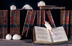 White mice (Mus genus) on bookcase (captive)  -  Michel Poinsignon