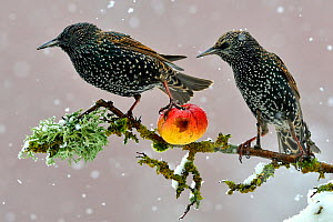 Starlings (Sturnus vulgaris), adults perched on branch in winter feeding on apple. Lorraine France.  3rd Prize in the Melvita Nature Images Awards competition 2013.  -  Michel  Poinsignon