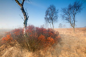 Sweetgale (Myrica gale) in mist with Birch tree. Groot Schietveld, Wuustwezel, Belgium, March.  -  Bernard Castelein