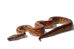 Dumeril's Ground Boa (Acrantophis dumerili) against white background. Endemic to Madagascar.  -  Daniel Heuclin