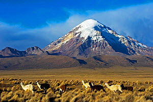 Domesticated Alpaca / Vicugna (Lama / Vicungna pacos) on plains with snow-capped peak in distance. Sajama National Park, Bolivia. - Daniel Heuclin