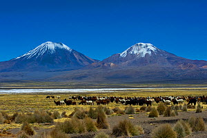 Domesticated Alpaca / Vicugna (Lama / Vicungna pacos) on plains with snow-capped peaks in distance. Sajama National Park, Bolivia. - Daniel Heuclin