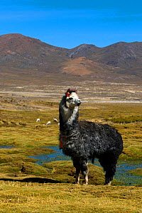 Domesticated Alpaca / Vicugna (Lama / Vicungna pacos) on altiplano plains. Sajama National Park, Bolivia. - Daniel Heuclin