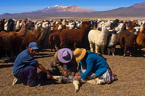 Farmers treating Domesticated Alpaca / Vicugna (Lama / Vicungna pacos) for worm infection on altiplano plains. Sajama National Park, Bolivia. - Daniel Heuclin