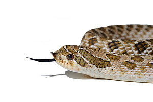 Western Hognose Snake (Heterodon nasicus) tasting air with its tongue. Endemic to western North America and Mexico.  -  Daniel Heuclin
